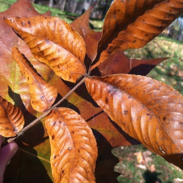 The Massicot color found on a walk in the woods. beech leaves!